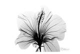 Hibiscus in Black and White Poster von Albert Koetsier