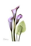 Calla Lily in Full Bloom Poster di Albert Koetsier