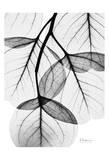 Flowing Eucalyptus in Black and White Posters av Albert Koetsier