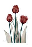 Early Tulips in Red Affischer av Albert Koetsier