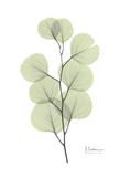 Eucalyptus in Pale Green Posters av Albert Koetsier