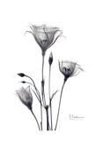 Bouquet of Gentian in Black and White Posters av Albert Koetsier