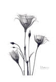 Bouquet of Gentian in Black and White Stampe di Albert Koetsier