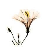 Hibiscus Affiche par Albert Koetsier