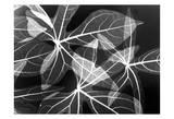 Leaves Close Up on Black Affiches par Albert Koetsier