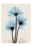 Blue Gerbera Triple Posters by Albert Koetsier