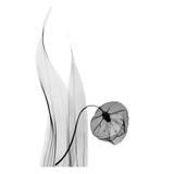 Sandersonia in Black and White Plakat af Albert Koetsier