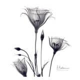 Gentian Trio in Black and White Posters av Albert Koetsier
