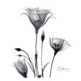 Gentian Trio in Black and White Art by Albert Koetsier