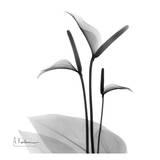 Flamingo Plant Black and White Poster von Albert Koetsier