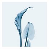 Calla Lilly in Blue Poster di Albert Koetsier
