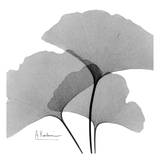 Ginkgo Leaves Trio Black and White Art by Albert Koetsier