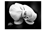 White Orchid Pósters por Harold Silverman