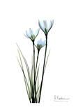 White Rain Lily Poster di Albert Koetsier