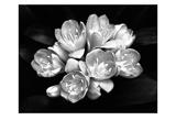 Camellia Bloom Láminas por Harold Silverman