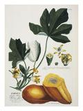 Papaya; Carica Papaya Giclée-tryk af Georg Dionysius Ehret