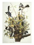 Mocking Bird. Northern Mockingbird (Mimus Polyglottos), Plate Xxi, from 'The Birds of America' Giclée-tryk af John James Audubon