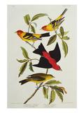 Louisiana & Scarlet Tanager (Tanagra Ludoviciana & Rubra), Plate CCCLIV, from'The Birds of America' Reproduction procédé giclée par John James Audubon