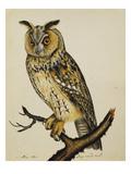 A Long-Eared Owl (Strix Otus) Giclée-tryk af Christopher Atkinson