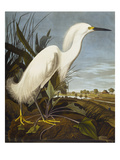 Snowy Heron or White Egret / Snowy Egret (Egretta Thula), Plate CCKLII, from 'The Birds of America' Giclée-tryk af John James Audubon