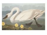 Common American Swan Giclee Print by John James Audubon
