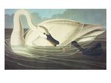 Trumpeter Swan (Olor Buccinator), Plate Ccccvi, from 'The Birds of America' Giclee Print by John James Audubon