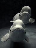 Beluga (Delphinapterus Leucas) Whale Pair Swimming Together, Shimane Aquarium, Japan Fotografisk tryk af Hiroya Minakuchi/Minden Pictures