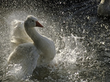 A Duck Splashes in the Water of Lake Banyoles Photographic Print by Tino Soriano
