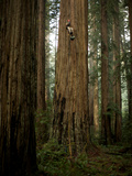 The Patriarch Grove Has the Largest Volume of Redwood Trees Fotografisk tryk af Michael Nichols