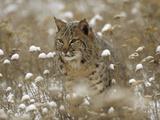 Bobcat (Lynx Rufus) Camouflaged in Snowy Meadow, Montana Fotografisk trykk av Tim Fitzharris/Minden Pictures
