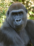 Portrait of an Endangered Western Lowland Mountain Gorilla Photographic Print by Paul Sutherland