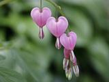 Close Up of a Sprig of Bleeding Heart Flowers, Dicentra Spectabilis Fotografisk tryk af Charles Kogod