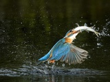 An Adult Male Common Kingfisher, Alcedo Atthis, with a Common Roach Reproduction photographique par Joe Petersburger