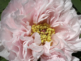 Close Up of a Pink Flower Photographic Print by Charles Kogod