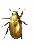 A jewel scarab collected from a tropical cloud forest sample