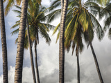 The Midsection of a Group of Palm Trees on the Island of Molokai Fotoprint av Pete Ryan