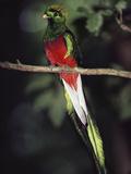 Resplendent Quetzal (Pharomachrus Mocinno) Male, Monteverde Cloud Forest Reserve, Costa Rica Reproduction photographique par Michael and Patricia Fogden/Minden Pictures