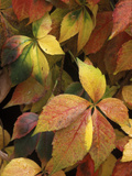 Virginia Creeper (Parthenocissus Quinquefolia) Leaves, Native to Eastern and Central North America Fotoprint av Albert Lleal/Minden Pictures