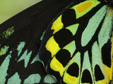Close Up of Wing Color Pattern on a Cairns Birdwing Butterfly Photographic Print by Paul Sutherland