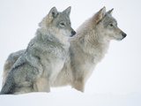 Timber Wolf (Canis Lupus) Portrait of Pair Sitting in Snow, North America Fotografisk tryk af Tim Fitzharris/Minden Pictures