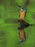 An Adult Male Common Kingfisher, Alcedo Atthis, Perches on a Branch Reproduction photographique par Joe Petersburger