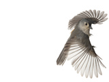 A tufted titmouse, from a deciduous forest, in flight. Reproduction photographique par David Liittschwager
