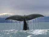 Sperm Whale (Physeter Macrocephalus) Tail, New Zealand Photographic Print by Flip Nicklin/Minden Pictures