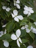 White Dogwood Blossoms on a Tree in Piedmont Park Fotografisk trykk av Krista Rossow