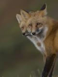 Adult Red Fox (Vulpes Vulpes) in Alaska Fotoprint av Michael S. Quinton