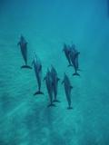 Spinner Dolphin (Stenella Longirostris) Group Underwater, Bahamas Photographic Print by Flip Nicklin/Minden Pictures