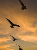 Mew Gull (Larus Canus) Group Silhouetted at Sunset in La Jolla, California Fotografie-Druck von Tom Vezo/Minden Pictures
