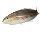 A Red Shoulder Wrasse Collected from Temae Reef