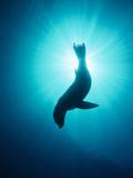 California Sea Lion (Zalophus Californianus) Underwater, Channel Islands National Park, California Photographic Print by Flip Nicklin/Minden Pictures