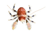 A Squat Lobster Collected from a Sample of Coral Reef Fotografisk tryk af David Liittschwager